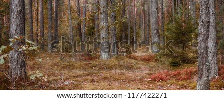 Panoramic scenic landscape of pine forests with selective focus. Beautiful Nature Wallpaper with artistic photo processing. Wild mushrooms growing in the coniferous forest. Wide Screen Web banner