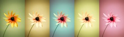 Panoramic set of 5 different colored flowers. Large image with rich color variation. Use in your design!
