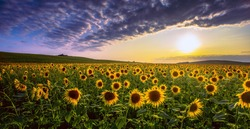 panoramic summer image, sunrise sunflowers photo, blossom yellow sunflowers on the field at sunrise sunlight, panoramic summer  nature blossom image, location Provence, France, Europe