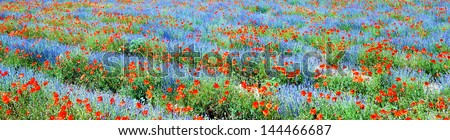 Panoramic view, field of violet lavender and red poppy flowers