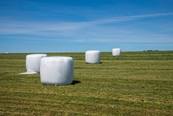 Panoramic view of a field where grass has just been harvested and is plastic wrapped for high-moisture baling;  bales look like giant white marshmallows