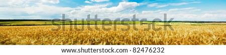 Panoramic view of a golden wheat field stock photo