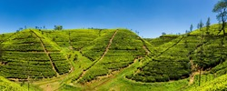 Panoramic view of a mountain tea plantation with blue sky on background in Sri Lanka.