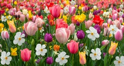 Panoramic view of a rebate full of colorful spring flowers of tulips and daffodils.