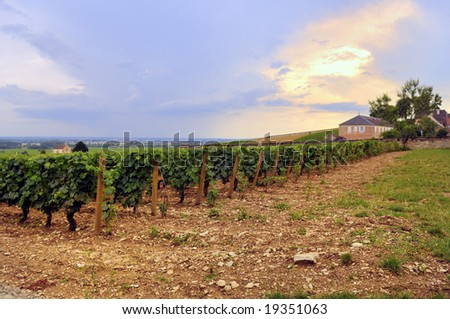 Panoramic view of a vineyard in Burgundy, France in late afternoon