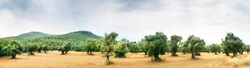 Panoramic view of an Olive farm.