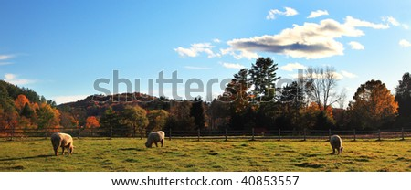 Panoramic view of fall meadow with sheep in Vermont,USA