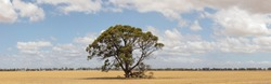 panoramic view of freshly harvested farm fields in rural Victoria with a single lone native gum tree standing in the middle of the field.
