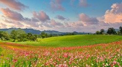 Panoramic view of landscape of the cosmos flower field and green field on the hill at sunrise time.