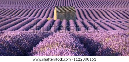 Panoramic view of lavender fields in Valensole with stone house in Summer. Alpes de Haute Provence, France