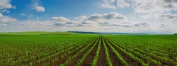 panoramic view of lines of young corn shoots on big field