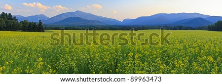 Panoramic view of Mt. Colden, Mt Jo and Wright Peak with a a huge field of yellow Canola FLowers in the foreground in the High Peaks region of the Adirondack Mountains of New York
