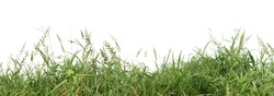 Panoramic view of overgrown green grass Isolated from white background with clipping path.