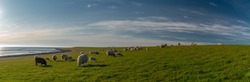 Panoramic view of sheep and lambs on a dike in the sun at the North Sea, Westerdeichstrich, Büsum, Schleswig-Holstein, Germany, flock of sheep with lamb in field or dike, wool on the hoof