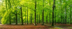 panoramic view of sun shining through vibrant green leaves in a beech forest in Epe, Veluwe, Gelderland, The Netherlands