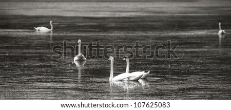 Panoramic view of swans on lake