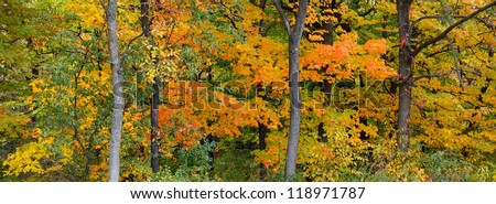 Panoramic view of the changing colors of  an autumn forest. orange, yellow and greens of various maple and elm trees are prominent