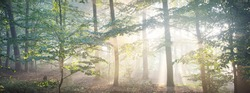 Panoramic view of the majestic evergreen forest in a morning fog. Mighty pine tree silhouettes. Atmospheric dreamlike summer landscape. Sun rays, mysterious golden light. Nature, fantasy, fairytale