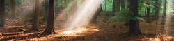 Panoramic view of the majestic green deciduous and pine trees in a morning fog. Forest floor of golden leaves. Sun rays, pure sunlight. Atmospheric dreamlike summer landscape. Nature, ecology