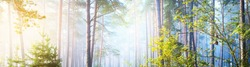 Panoramic view of the mysterious evergreen forest in a fog. Ancient pine, spruce, fir tree silhouettes close-up. Atmospheric landscape. Sun rays, golden light. Nature, ecology, fantasy, fairytale