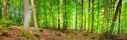 Panoramic view of the mysterious green summer beech forest in Presberg, Germany. Sunlight through the tree trunks. Environmental conservation, ecology, pure nature, ecotourism. Idyllic landscape