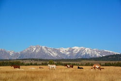 Panoramic view of the Teton Range, snow covered against a blue sky with in the foreground grazing wild horses