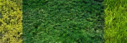 panoramic view of three types of Thuja hedges (cypress, juniper). Seamless Texture of green natural background. panorama Hedge of thuja trees. Thuja texture. Long Tree Hedge. Green Bush.