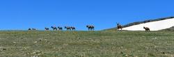 Panoramic view of wild deer herd in the alpine scenery of Colorado seen from trail ridge road