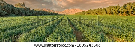 Panoramic view on field with ripening green onions. Agriculture industry in desert areas of the Middle East