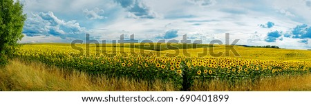 Panoramic view on sunflower field with sky