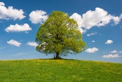 panoramic view to single big linden tree