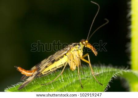 Panorpa communis / common scorpionfly