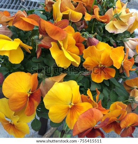 Pansies are one of the most popular and recognizable cool weather annuals. The names 'pansy' and 'viola' are often used interchangeably. #755415511