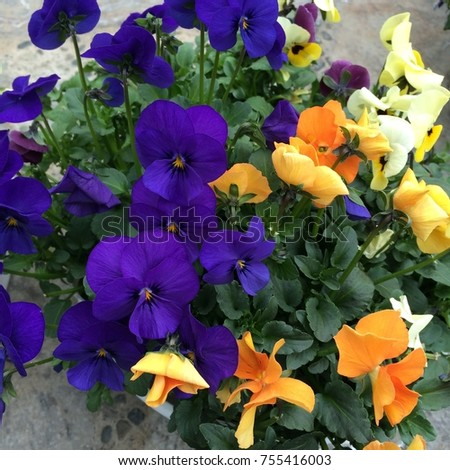 Pansies are one of the most popular and recognizable cool weather annuals. The names 'pansy' and 'viola' are often used interchangeably. #755416003