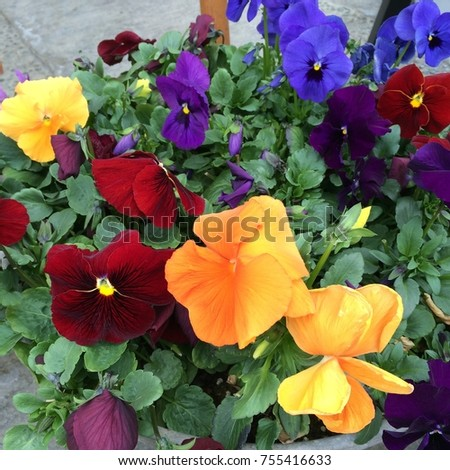 Pansies are one of the most popular and recognizable cool weather annuals. The names 'pansy' and 'viola' are often used interchangeably. #755416633