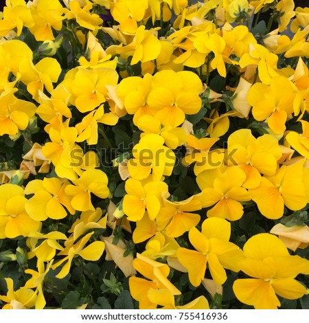 Pansies are one of the most popular and recognizable cool weather annuals. The names 'pansy' and 'viola' are often used interchangeably. #755416936