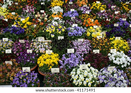 Pansies at Chelsea Flower Show - stock photo