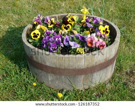 Pansies in a wooden tub, Viola wittrockiana