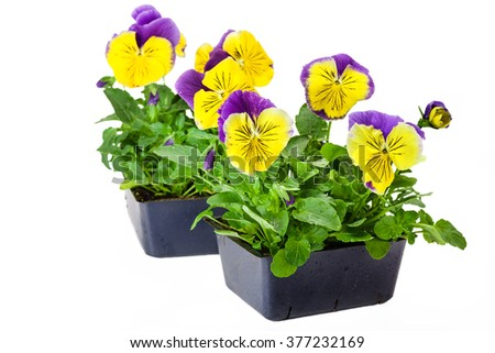 Pansies in bedding packs fresh from the greenhouse.