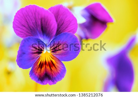 Pansies Viola close-up. Lilac purple pansy flower closeup. Blooming Pansy Flower.