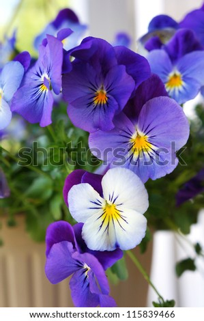 Pansy blue and yellow flowers during spring.