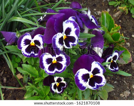 Pansy, botany name Viola wittrockiana, family violaceae, colorful flowers group