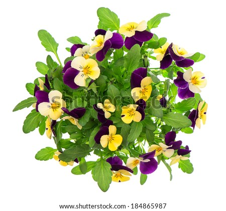 pansy bouquet isolated on white background. violet and yellow spring flowers #184865987