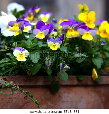 Pansy flower in a rustic flower pot