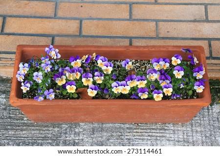 Pansy flower in a rustic flower pot, Purple flowers in pots.