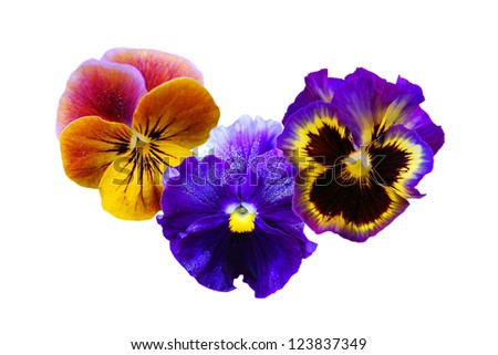 pansy flowers over white background