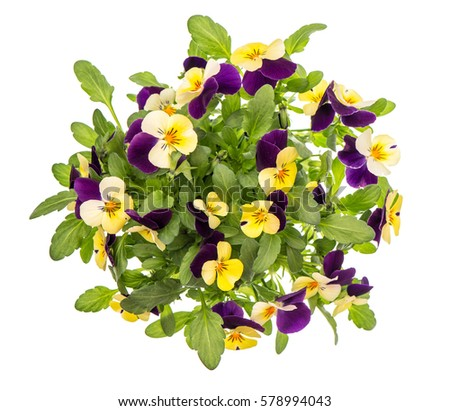 Pansy flowers top view isolated on white background. Violet and yellow spring viola #578994043