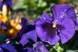 Pansy violet - purple flowers blooming in the garden.