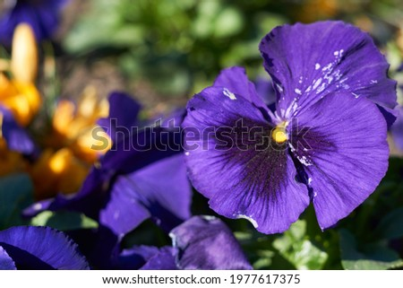 Pansy violet - purple flowers blooming in the garden. Сток-фото ©