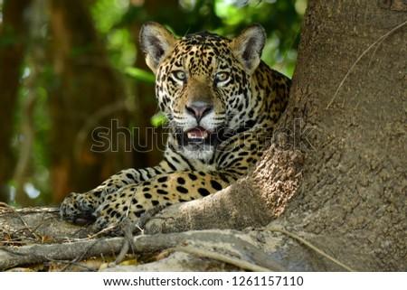 Pantanal's Jaguar  #1261157110